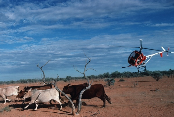 A small two seat helicopter herding cattle on a vast cattle station or ranch in outback Australia.