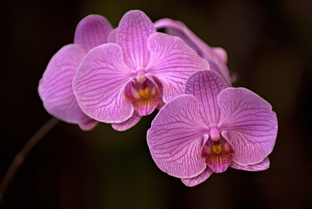 Phalaenopsis Orchids.